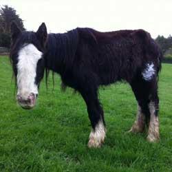 Irish Horse Welfare Trust - Dedicated to the Welfare of
