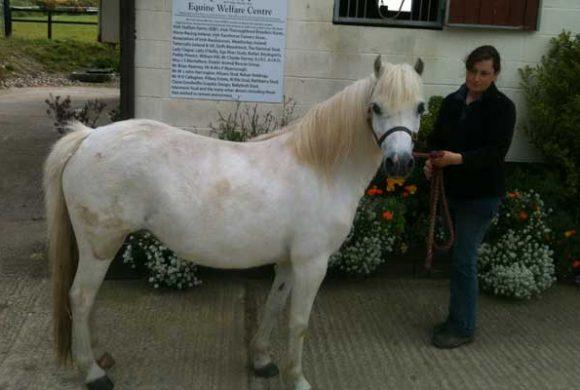 Feeding the Laminitic horse or Pony