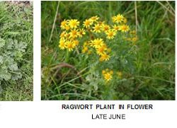 The control of Ragwort