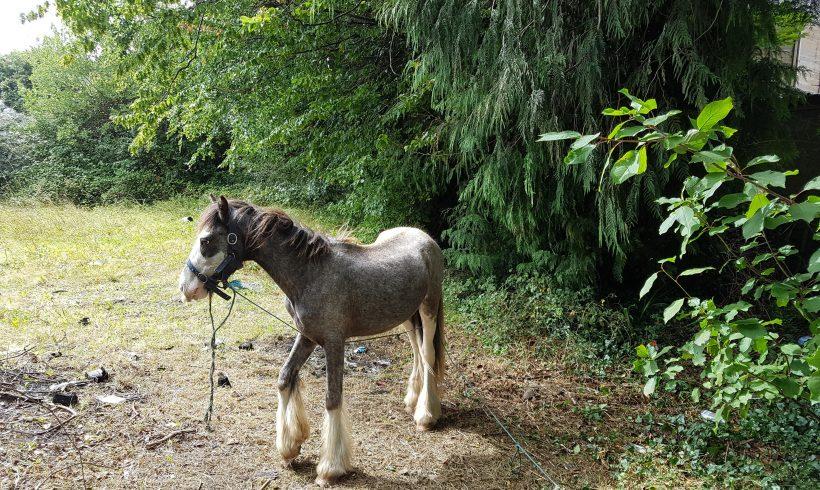 Blueboy, yearling skewbald colt