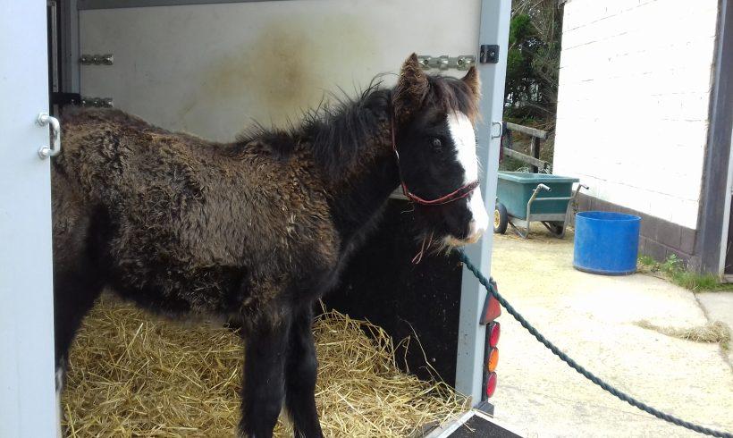 Spud, yearling, dark bay colt