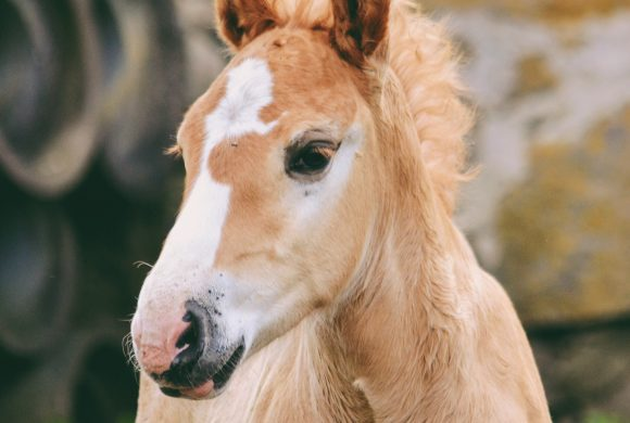 Learn about Foal Imprinting!